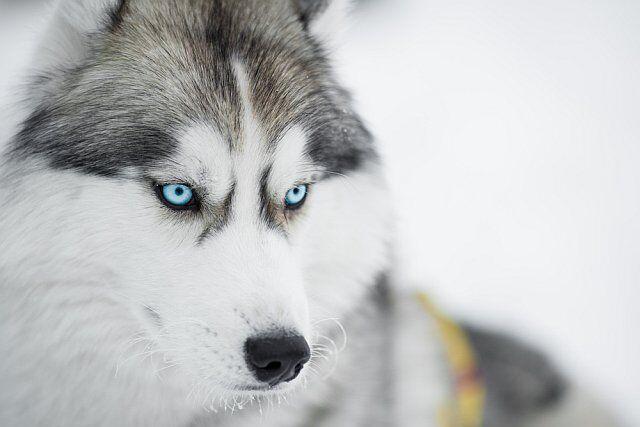 chien de traineau en vacances aux Deux Alpes