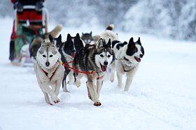 initiation aux chiens de traineaux dans le Vercors