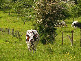 La fameuse vache normande