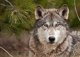 observation dans les loups dans le Mercantour